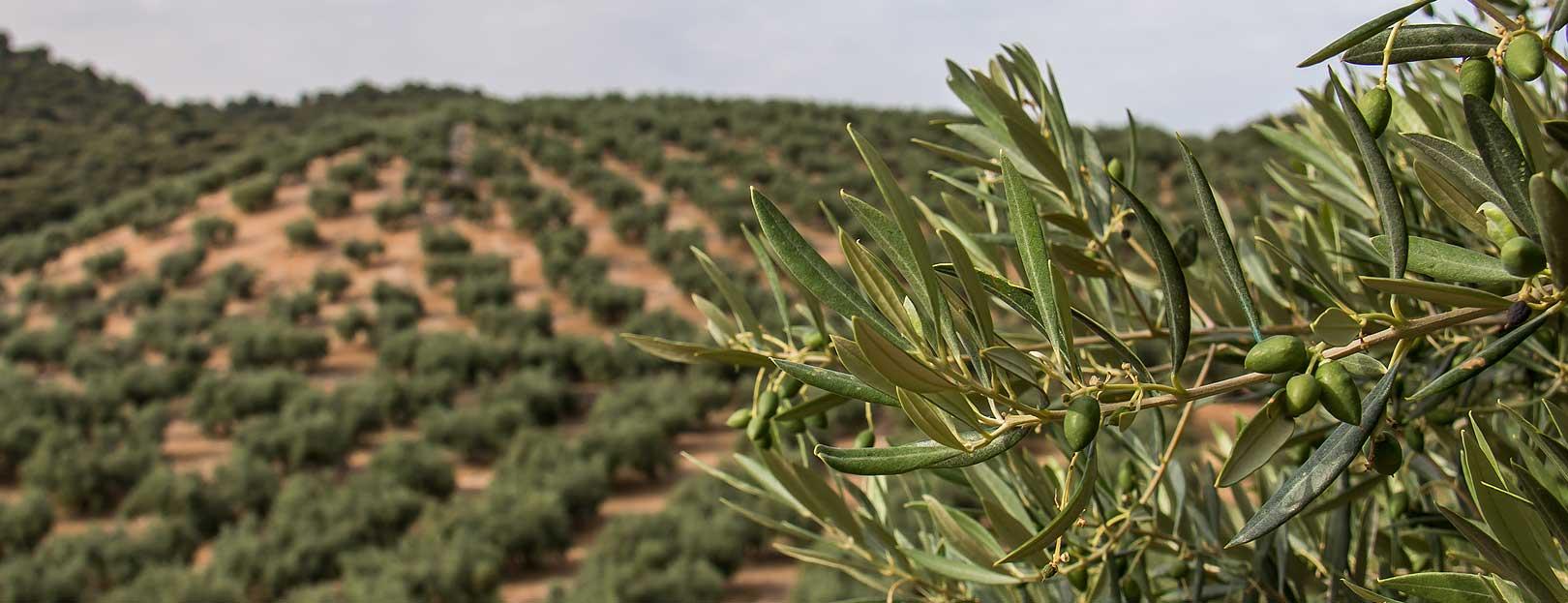 ramas-olivo
